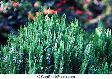 Plant background Cupréssus