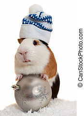 christmas guinea pig over white