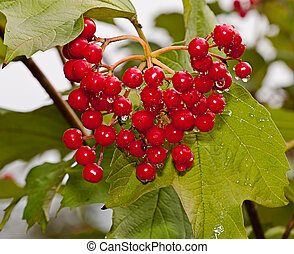 Red berries of a guelder-rose with waters drops after the...