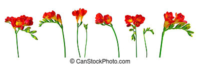 Red freesias isolated on white background