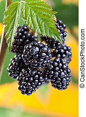 Blackberries ripening on the shrub