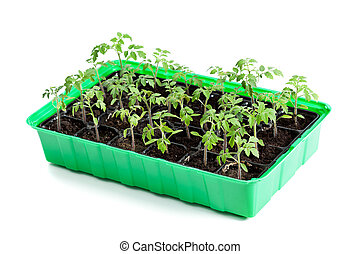 Young tomato plants in germination tray