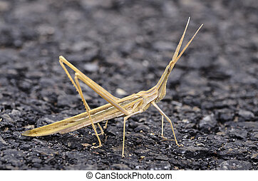 insect walking stick bug in Spain