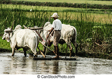 Burma. Farmer on his Rice Field