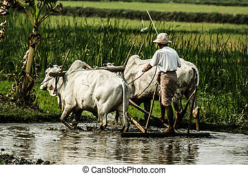 Burma Farmer on his Rice Field