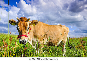 Jersey cow - An image of pastering jersey cow