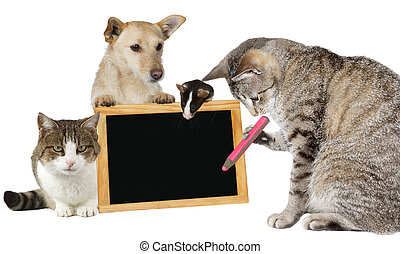 Cat writing on a blank blackboard - Intelligent tabby cat...