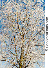 winter scenery, trees covered by snow