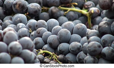 Grapes zoom out - Zoom out on grapes which have just been...