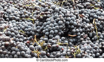 Harvested grapes - Grapes which have just been harvested and...