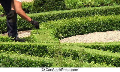 Measuring the height of a boxwood garden at Frederiksborg...