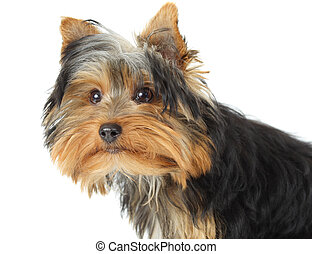 young yorkshire terrier - young yorkshire terrier, white...