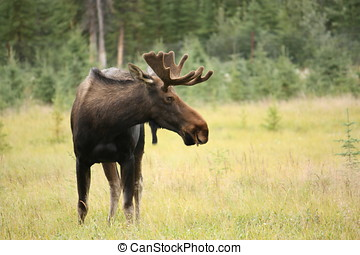 Moose - Male Moose in Meadow