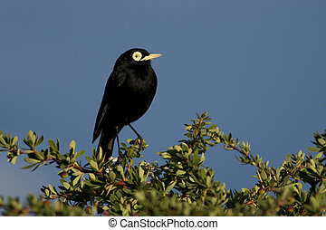 Male Spectacled Tyrant - One male spectacled tyrant in...