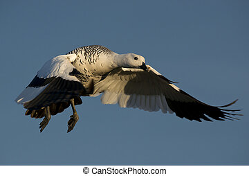 Flying Male Upland Goose - one male upland goose chloephaga...