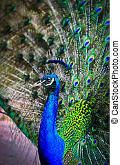 Close-up portrait of beautiful peacock with feathers out