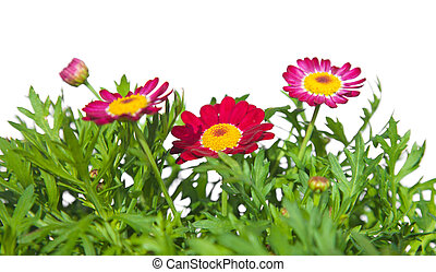 marguerite daisy plant isolated on white