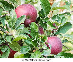 Jonathan apples in a tree - Fresh Jonathan apples growing in...