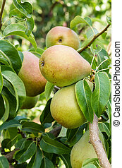 Russet pears growing in the orchard - Russet pears growing...