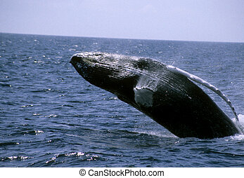 Whale Watch - Breaching whale off the coast of...