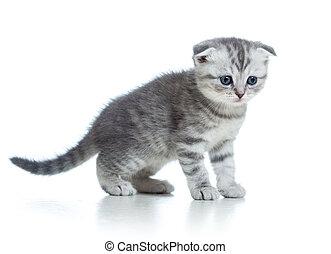 Scottish fold kitten isolated on white