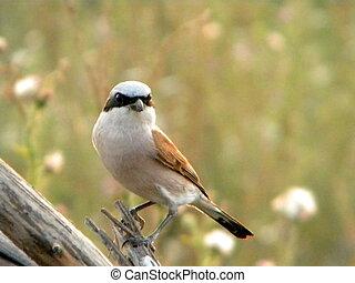 Little bird - A little bird with a black mask