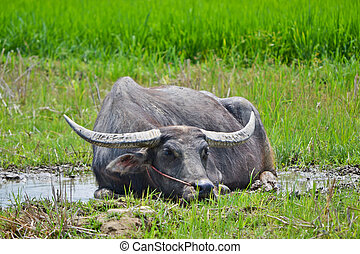 buffalo in pond of thailand