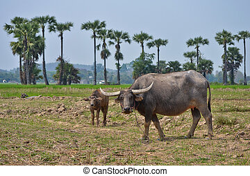 buffalo in farm of thailand