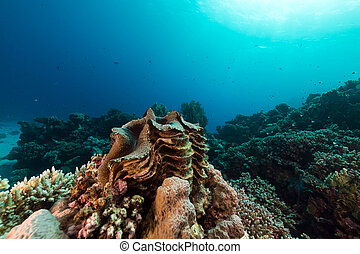 Giant clam and tropical reef in the Red Sea. - Giant clam in...