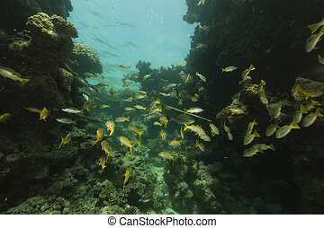 Longspot snappers (lutjanus fulviflamma) in the Red Sea. -...