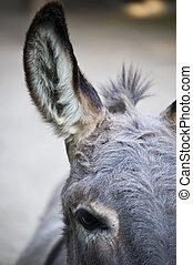 burro, parte, cabeza
