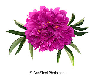 Big pink peony - Large pink peony with leaves isolated on...