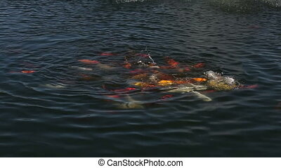 School of fish koi in the artificial pond chasing a piece of...