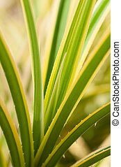 Pandanus variegated thorny leaves - Pandanus variegated...