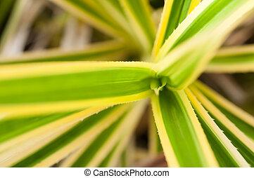 Pandanus variegated sawtooth leaves