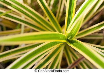 Pandanus variegated thorny leaves