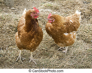Hens - Free-range chicken on a farm