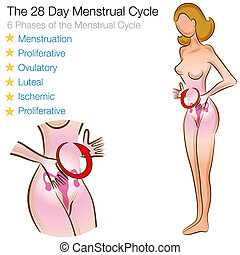 Female Menstrual Cycle - An image of a female menstrual...