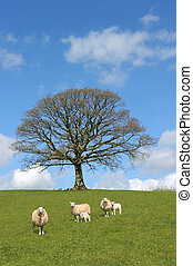 Spring Scene - Oak tree in spring with sheep and lambs...