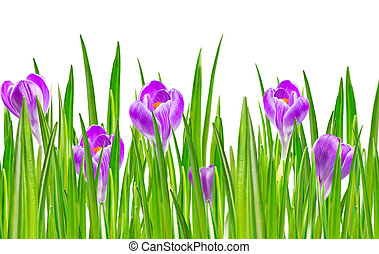 blooming spring crocus flower - Beautiful blooming spring...