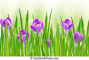 florescer, primavera, flor, Açafrão