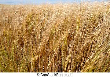 golden crop 2