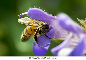 bee on a sage flower - honey bee collecting nectar from a...
