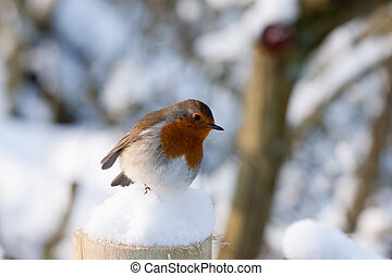 Robin Redbreast - a little robin sitting on a snow covered...