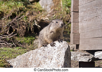 Groundhog day - Groundhog in the Swiss alps