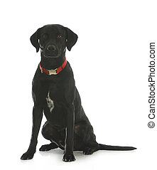 black lab cross - black labrador retriever cross sitting...