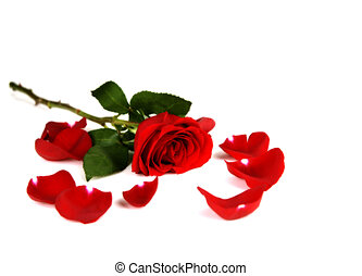 Single Long Stemmed Tose - Several Red Roses Isolated on...