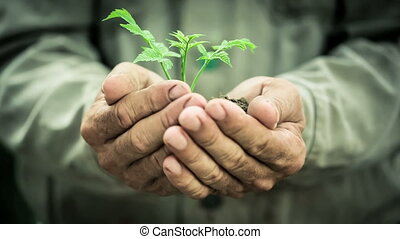 Old man`s hands holding young plant