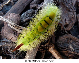 Pale Trussock Moth Caterpillar