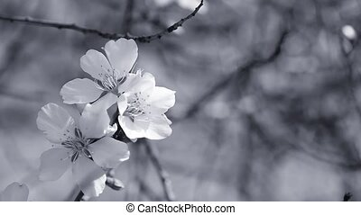 Almond blossom in black-and-white composition